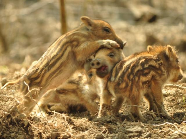 Megszülettek a vadmalacok