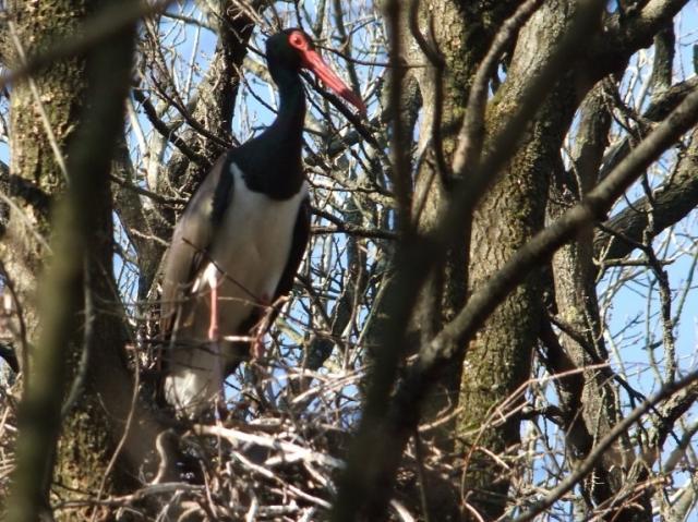 Újabb videók a fekete gólya fészekből