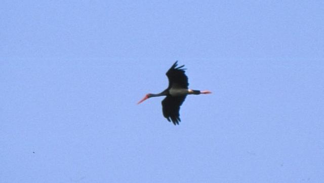 Megérkeztek a fekete gólyák a Gemenci erdőbe