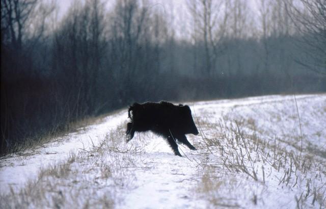 Biztonságban van a Gemenci vadállomány